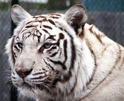 Profile of a Tiger by fennecx
