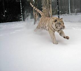 Tiger Running in Snow by fennecx