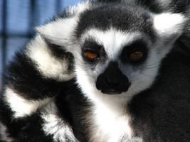 Lemur by fennecx