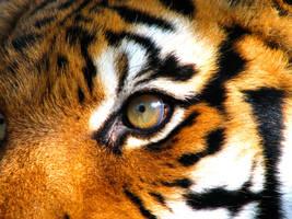 Tiger by fennecx