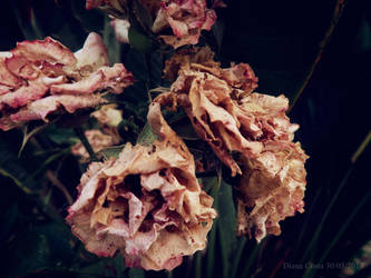 Withering Roses by DyannaC