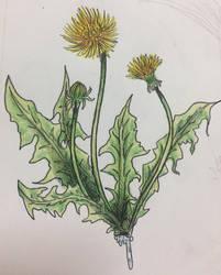 Dandelion Medicine  by White-Rabbit1