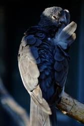 Grey Parrot by LEElya