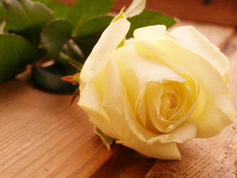 White Rose I by Glucksistemi