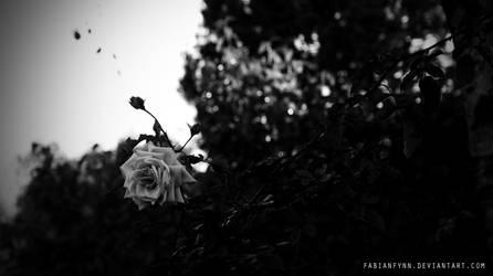 White Rose by FabianFynn