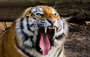 Tiger by MartyMcFly81