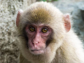 Japanese macaque by MartyMcFly81