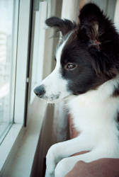 Orion the border collie looking through the window by TeddyMarkov