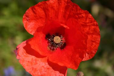 Poppy by Twimperology