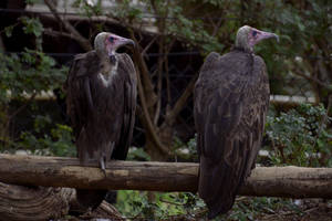 A Fine Pair of Condors by pdelariva