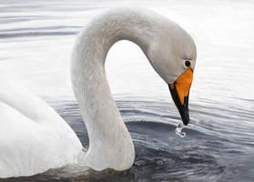 Whooper Swan by Renum63
