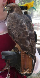 Female Red-Tailed Hawk at Valhalla 2010 by SurfTiki