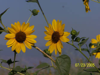 Summer Sunflowers by Adzuma