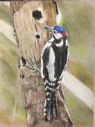 Spotted woodpecker  by Rjrazar1
