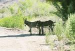 Wild Arizona Donkeys by SwordOfScotland