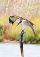 falco pescatore by FrancoBorsiWildLife