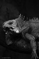 Iguana by fir3hand