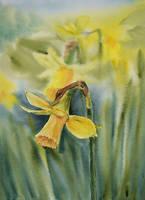 Daffodil by stokrotas