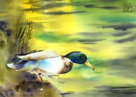 Umykajacy Kaczor / Fleeing duck by stokrotas