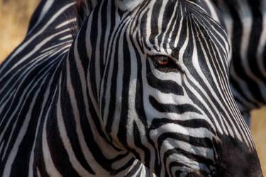 Zebra, Ngorongoro Crater by Mark-Fisher-Photos