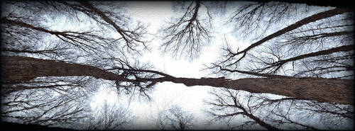 Trees Panorama Skyward by Mwuar