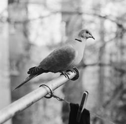 My Collared Dove by ivoturk