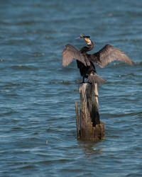 Black cormorant by VitaShuba