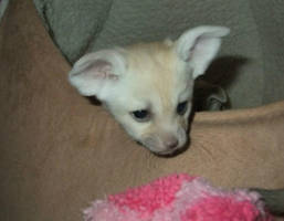 Churchill the fennec fox kit by Corsacfoxes
