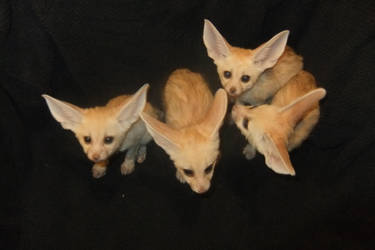Four fennec fox kits together by Corsacfoxes