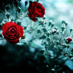 where the wild roses grow by meyrembulucek