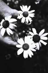 daisies by meyrembulucek