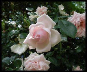 Summer Roses by morningstarskid