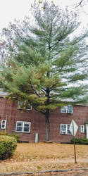 One Pine Tree free of its Needles by morningstarskid