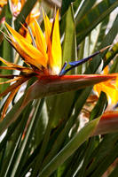 bird of paradise by luv2danz