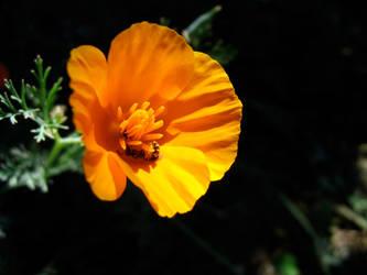 California Poppy by mrhollow