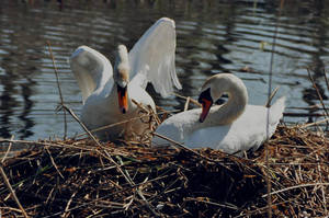 Swans by Lonsey
