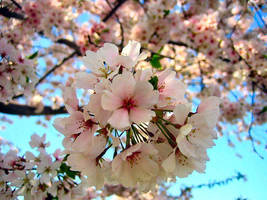 Cherry Blossoms by alphabitsNpieces