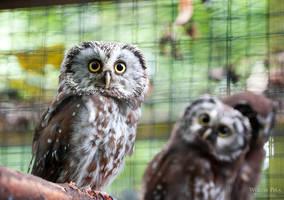 Owly owl II by WouterPera