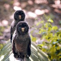 Owlets by WouterPera