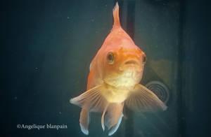 goldfish II by Creamydigital