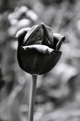 tulipan by ficyl