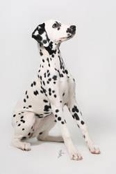 dalmatian by maberli