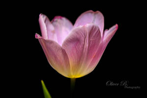 A Flower in the Dark by OliverBPhotography