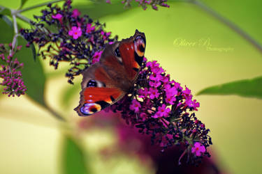European Peacock Butterfly by OliverBPhotography