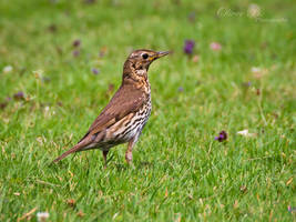 Song Thrush (2) by OliverBPhotography