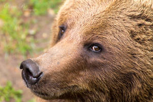 Eurasian Brown Bear by OliverBPhotography