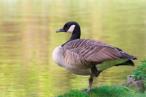 Canada Goose by OliverBPhotography
