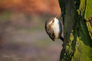 Treecreeper by OliverBPhotography