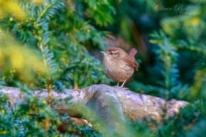 Eurasian Wren by OliverBPhotography