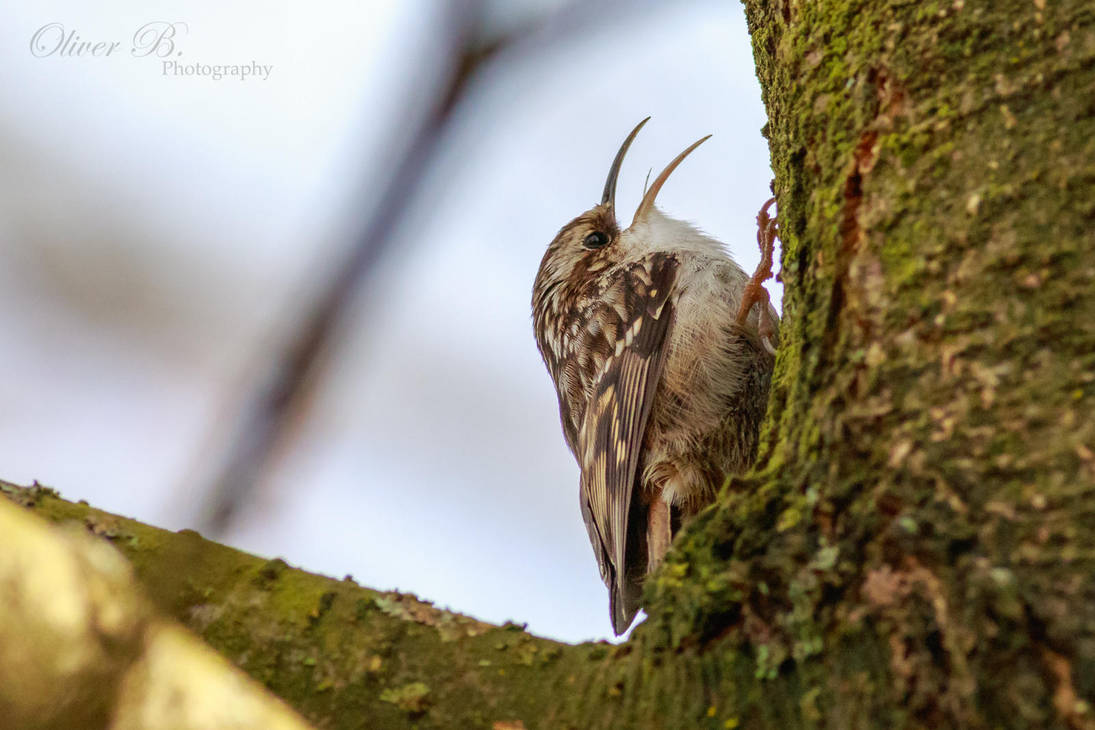 Singing Treecreeper by OliverBPhotography